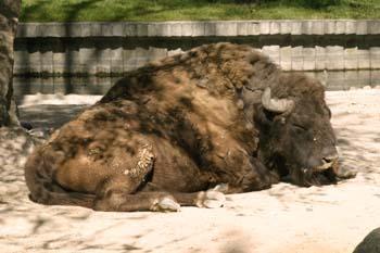 Bisonte (Bison bison)