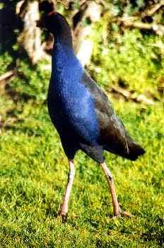 Pájaro Takahe, Nueva Zelanda