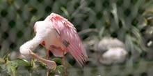 Espátula rosada (Platalea ajaja)
