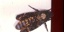 Esfinge de la calavera (Acherontia atropos)