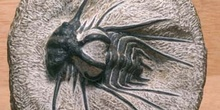 Dicranurus monstruosus (Trilobites) Devónico