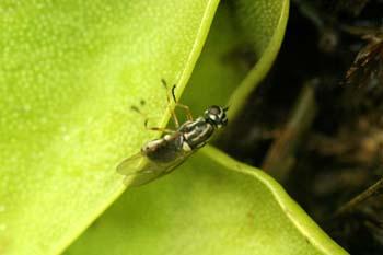 Mosca atrapada en planta carnívora (Diptera Ord.)