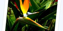Flor del paraiso