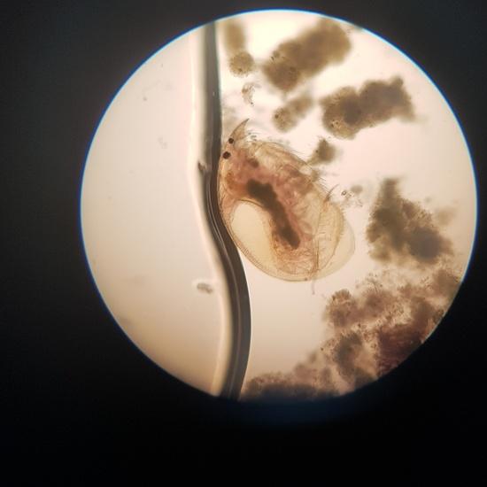 Imágenes de pulga de agua (Daphnia pulex) 4