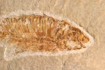 Knigthia eocenica (Pez) Eoceno