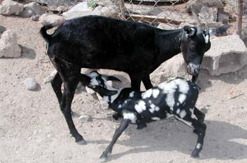 Cabra y cabritillo, Rep. de Djibouti, áfrica