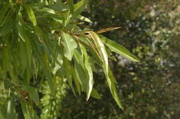 Almendro - Hoja (Prunus dulcis)