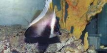 Pez mariposa portaestandarte (Heniochus varius)