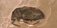 Gorgojo (Coleóptero) Silúrico