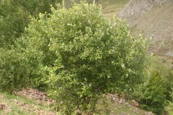 Sauce cabruno - Porte (Salix caprea)