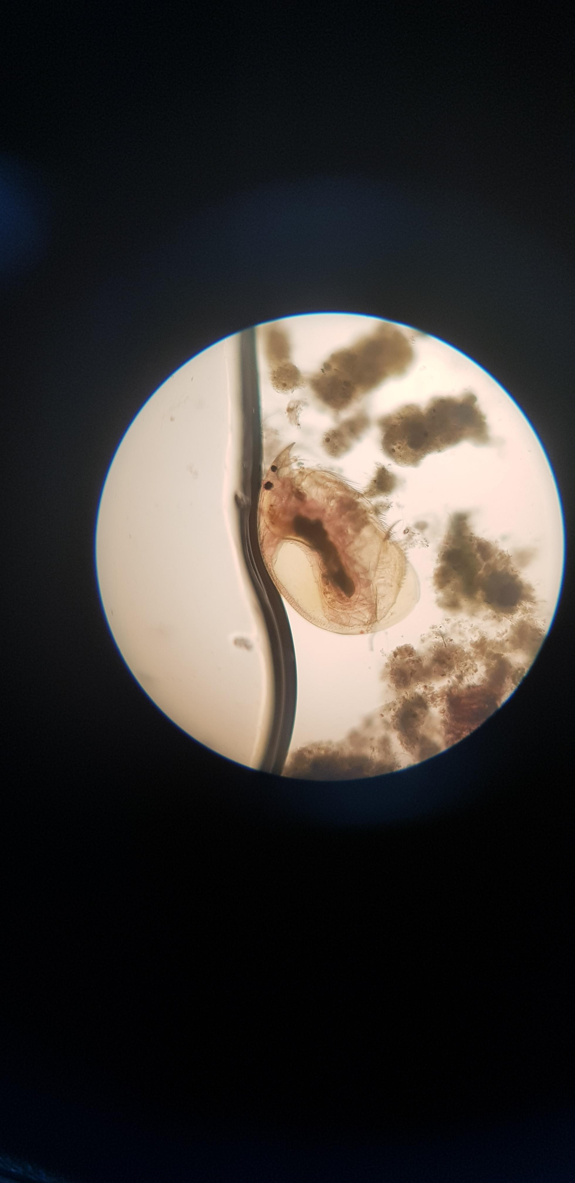 Imágenes de pulga de agua (Daphnia pulex)