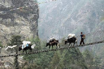 Yaks con Sherpa