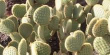 Opuntia scheerii