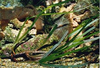 Fanerogama marina (Cynomodocee nudosa)