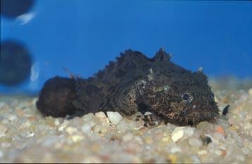 Rascaceo de agua dulce (Batrachus sp.)