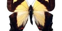 Eurytides columbus (Perú)
