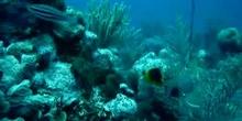 pez ángel enano bicolor (Centropyge bicolor)