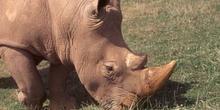 Rinoceronte negro (Rinos bicornis)