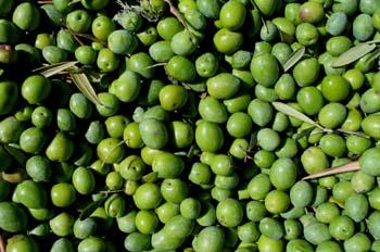 Aceitunas, Extremadura