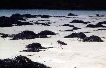 Pájaros ostreros Torea-Pango en la orilla, Nueva Zelanda