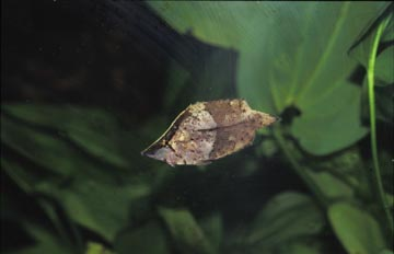 Pez hoja (Monocirrhus polyacanthus)
