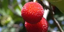 Fruto del madroño