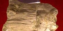 Dictenocrinus polydactilus (Crinoideo) Silúrico