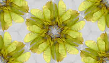 Composición radial del fruto