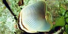 Pez mariposa (Chaetodon baronesa)