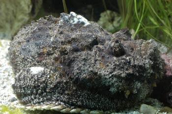 Pez roca (Lophius piscatorius)
