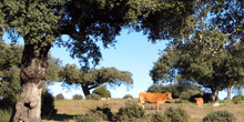 Ganado vacuno en la dehesa, Extremadura