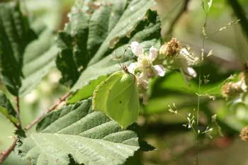 Limonera (gonepteryx rhamni)