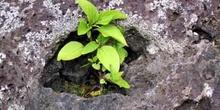 Brote en el hueco de una roca de lava, Ecuador