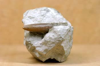 Belemnites sp. (Belemnites) Jurásico