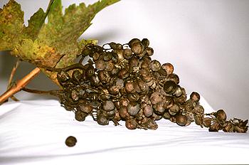 Racimo de uvas pasas