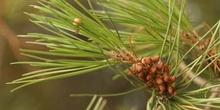 Pino piñonero - Flor Masculina (Pinus pinea)