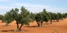 Olivo - Olivar (Olea europaea)
