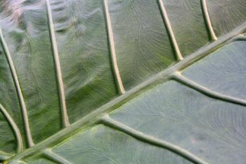 Detalle nevadura de una hoja, Jardín botánico, Java, Indonesia