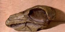 Odontopteryx (Aves) Eoceno