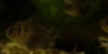 Movimiento de Ciclosis de cloroplastos en Elodea canadensis