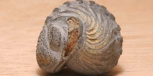 Phacops rana (Trilobites) Silúrico