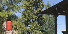 Cedro blanco de California -Porte (Calocedrus decurrens)