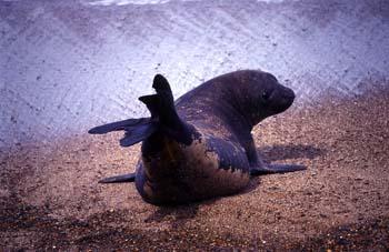 Lobo marino del Sur, Argentina