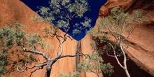 árbol junto al monolito Uluru (Ayers Rock), Parque nacional Ulur