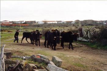 Vacas de raza sayaguesa en Bermillo de Sayago, Zamora, Castilla