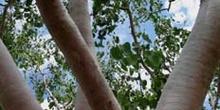 Eucaliptos blancos, Kakadu, Australia