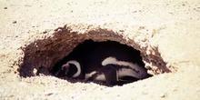 Pingüino de Magallanes, Argentina