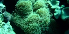 Coral oreja de elefante (Sarcophyton trocheliophorum)