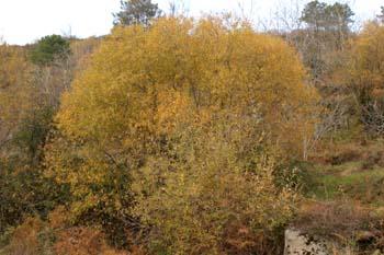 Sauce blanco- Porte (Salix alba)