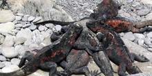 Iguanas marinas, Amblyrhynchus cristatus, Ecuador